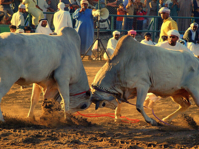 Fujairah Corniche Bull Fighting